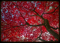 autumn colour (explored 21/10/2014) (_minda_) Tags: autumn red tree leaves leeds acer goldenacrepark