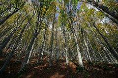 Foresta del Casentino (P) Tags: autumn italy leaves foglie alberi landscape italia tuscany toscana autunno paesaggio bosco casentino foresta faggi casentinese