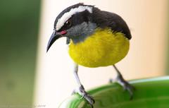 Caribbean eye candy (Dave-a-roni (Dark Spot Photography)) Tags: bird nikon sigma caribbean virginislands usvirginislands bananaquit sigma70300mm nikond7100