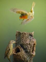 Angry Robin.