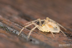 Comb-footed spider (Dipoena sp.) - DSC_7293 (nickybay) Tags: macro spider malaysia johor kukup theridiidae combfooted dipoena kukupnationalpark