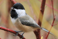 Little chickadee (RickykcWong) Tags: toronto ontario bird nature canon eos wildlife chickadee birdwatcher 70d rickykcwong