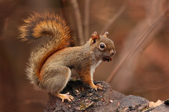 Red squirrel (Translatomatic) Tags: