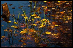 Floating (Vicki Lund Photography) Tags: autumn tourism nature leaves reflections landscapes pond woods artist view fineart maine n newengland naturallight tourists swamp thankful forests vacationland freelance 2014 freelancephotographer maineartist fineartprints travelphotographer nikond90 mainephotographer fineartlandscape mainetrees httponfbmevickilundphotographywelcome vickilund vickilundmaine httpaboutmevickilundphotography dsc4866vlpvlp