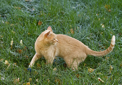 A Feral Cat Named Goldie & His Rescue Story (AlaskaFreezeFrame) Tags: portrait cats fall nature beautiful grass leaves closeup alaska cat canon outdoors feline wildlife gato rescued injured feral strays 70200mm alaskafreezeframe
