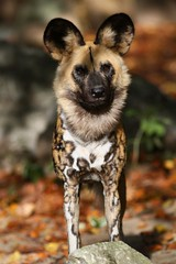 [9329] African painted dog