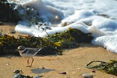 sur la plage d'otobre  (3) (Jean-marc17340) Tags: ocean bird nature landscape divers plage paysages ocan littoral charentemaritime chatelaillonplage
