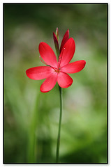 Hesperantha or Schizostylis coccinea Major (Creative_Pixels (On/Off Busy)) Tags: flowers red flower nature floral fleur beauty crimson closeup scarlet garden botanical photography petals spring flora lily artistic flag ngc cottage jardin australia coccinea perennials iridaceae schizostylis hesperantha major