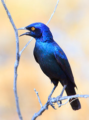 Greater Blue eared Glossy Starling (paulafrenchp) Tags: