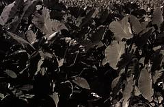 kalo (Miroku Bosatsu) Tags: light blackandwhite bw plants usa art film broken 35mm lens hawaii pentax takumar oahu kodak outdoor tmax super 55mm f spotmatic 100 honolulu meter foilage taro gossen moanalua caffenol kalo lunapro caffenolc