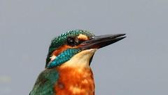 Kingfisher ~ Alcedo atthis (Cosper Wosper) Tags: birds somerset kingfisher westhay alcedo atthis