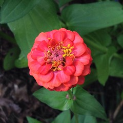 "Fallen leaves are piling up outside, but our zinnias are still going strong in the raised bed garden. This salmon color is a personal favorite. I just love the deep saturated color, don't you? • <a style=""font-size:0.8em;"" href=""https://www.flickr.com/photos/54958436@N05/15377401320/"" target=""_blank"">View on Flickr</a>"