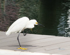 Snowy Egret at Dry Dock-2 (Susan Molnar Photography) Tags: beach photography artwork tropical prints beachart framedprints seasideart tropicalart canvasprints coastalart seasidephotography coastalphotography tropicalphotography susanmolnar susanmolnarfineartphotography