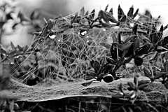 Movement - SpidersWeb (Savannah Moorghen Young) Tags: winter red white motion black colour nature sepia bug photography spider movement pretty pattern colours purple natural spiders path vibrant wildlife web bugs journey spidersweb pathway wintery auyumn savvyseye