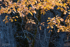 Autumn (Motographer) Tags: california autumn usa cold tree fall nature colors nationalpark oak nikon foliage yosemite blackoak d200 nikkor80200mmf28afd motographer fotografikartz motograffer