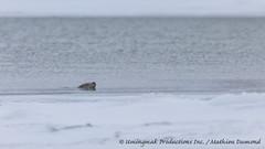 Enjoying the swim-7860 (Mathieu Dumond) Tags: canada fall ice water swimming river mammal frozen october marine wildlife freezing seal nunavut ringed coppermine kugluktuk kitikmeot
