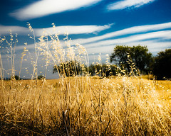 The blue and the gold (dACE :)) Tags: blue summer sun clouds gold huesca wheat arbres fields camps trigo nuvols nuves aragn