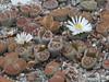 DSCF0384 (BobTravels) Tags: plant stone bob lithops lithop messem bobwitney