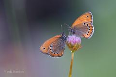 Russian Heath (Coenonympha leander, Turks hooibeestje) (Rob Blanken) Tags: macro butterfly bulgaria nikond800 russianheath coenonymphaleander sigma180mm128apomacrodghsm turkshooibeestjecoenonymphaleander turkshooibeestje