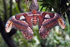 The Atlas Moth (Torthorwald) Tags: moth atlas butterflyworld worldslargestmoth