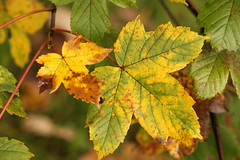 Acer Leaves (gripspix (OFF)) Tags: leaves herbst acer bltter autumnseries ahorn autumncolored herstfrbung 20141004