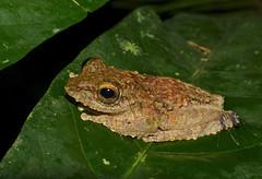 Frilled Tree Frog (Rhacophorus appendiculatus) feeding mosquitoes (berniedup) Tags: sarawak malaysia mulu rhacophorusappendiculatus taxonomy:binomial=rhacophorusappendiculatus