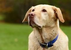 Love this guy! (nikagnew) Tags: park dog love field yellowlab cooper collar spca adopt pinknose shelterdog labradorretrievermix