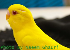 Budgerigar Red Eyes (Naeem Ghauri) Tags: road camera trip morning trees houses pakistan red mountain snow cold green beautiful beauty grass weather by clouds river golden landscapes photo amazing nice flickr heaven village natural image earth top award glacier valley e finepix fujifilm paya kaghan kaghanvalley shogran nwfp lahore breathtaking ul saif siri 2010 islamabad s800 naeem mansehra kunhar naranvalley payee malook ghauri trif siripaya s5800 lakesaifulmaluk siripayee