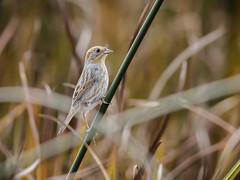 Nelson's Sparrow (Gadwall85) Tags: bird birds birding sparrow birdwatching nelsonssharptailedsparrow canonef400mmf56lusm bolingbrookil whalonlake sharptailedsparrow nelsonssparrow canon70d