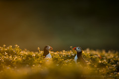 Evening Chatter (Puffins) (Old-Man-George) Tags: uk sunset wild bird nature animal wales landscape island wildlife puffin fraterculaarctica skomer wwwgeorgewheelhousecom georgewheelhouse d889635