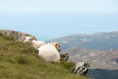 Living on the edge (Bert (A.H.) Roos) Tags: sea mountain nature water berg wales landscape sheep unitedkingdom natuur zee mammals landschap gwynedd schaap zoogdieren