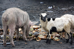 Amigos del alma (pacientt) Tags: basura cabra amistad cerdo cáscara