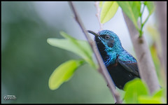 """Purple Sunbird • <a style=""""font-size:0.8em;"""" href=""""https://www.flickr.com/photos/53502454@N07/15576012139/"""" target=""""_blank"""">View on Flickr</a>"""
