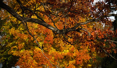 Oak & Maple (mahar15) Tags: autumn trees fallleaves fall nature leaves minnesota midwest fallcolors autumncolors winona