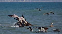 Brown Pelican (B), diving, Santa Monica Bay CA CQ4A1601 (Hart Walter) Tags: brownpelican malibulagoon marbledgodwit earedgrebe santamonicabay pelicanfeedingfrenzy