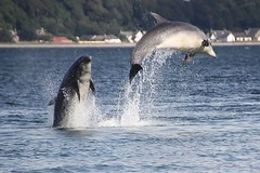 Moray Firth Dolphins, Scotland. (Seckington Images) Tags: flickr dolphin morayfirthdolphins