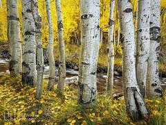 Golden Solace (Justin Lowery) Tags: autumn orange yellow fallcolor sierranevada bishop easternsierra bishopcreek whitetrunks highway168 quakingaspens aspendell