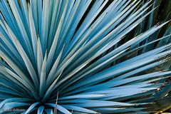 Blue Yucca (Stones 55) Tags: arizona phoenix nikon desert spines arid yucca sonorandesert spiny desertbotanicalgarden nikond3200 dbg maricopacounty yuccarigida d3200 asparagales asparagaceae agavoideae yuccaluminosa