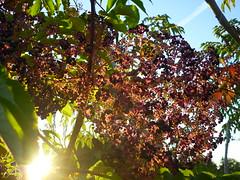 Aralien-Fruchtdolde (Jrg Paul Kaspari) Tags: autumn fall fruits fruit herbst frucht frchte aralia araliaelata elata teufelskrckstock
