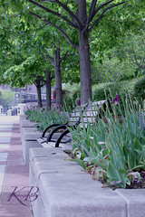 Chicago Nature (bono_kelly) Tags: park chicago flower nature river bench tulip kbphotography