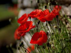 Poppy (VISITFLANDERS) Tags: war europe belgium poppy fields worldwar flanders westhoek flandersfields wo1 woi visitflanders