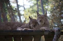 DSC_0079 - Tierpark Hanau - Luchs - Lynx (otzberg) Tags: germany deutschland lynx hanau luchs kleinauheim fasanerie 201410 20141019 wildparkalte