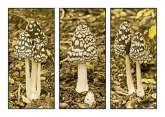 Magpie Inkcap (niloc's pic's) Tags: kewgardens mushroom lumix sussex panasonic fungi toadstool nationaltrust wakehurstplace magpieinkcap coprinopsispicacea dmcg2