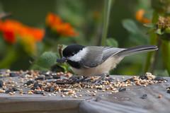 Carolina Chickadee (Scott Alan McClurg) Tags: autumn orange green bird nature song seed feeder eat chickadee carolina feed smallbirds songbird naturephotography carolinachicadee