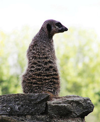 On Watch (John R Woodward Photography) Tags: nature fauna meerkat lookout mothernature wonderfulworld