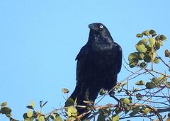 Torresian Crow (helmutnc) Tags: hg sweetfreedom specanimal hennysanimals dailynaturetnc12