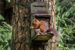 Red Squirrel #2, Scotland. (Simon_Baker2011) Tags: redsquirrel aberfoyle thelodge queenelizabethforestpark