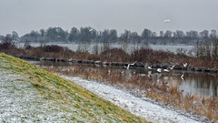 20 White Egrets In Winter