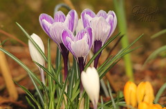 Purples In The Sunlight (Glenda Hall) Tags: crocus flowers purple yellow white spring march 2017 canon canon60d garden wildflowers springflowers sigma150500 glendahall 370mm sunlight uk northernireland tyrone