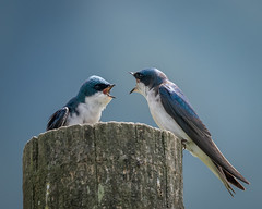 Tree Swallows [Explored 3/17/17 #95] (Becky Matsubara) Tags: bird birds california ebmud oursantrail swallow treeswallow tachycinetabicolor brionesreservior briones wildlife